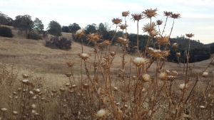 Field of Dried Thistle